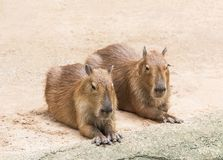 Capybaras  hydrochoerus hydrochaeris. To crouch relaxation in nature Stock Photos