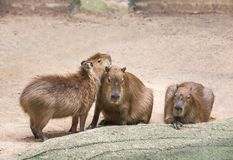 Capybaras  hydrochoerus hydrochaeris. To crouch relaxation in nature Royalty Free Stock Images