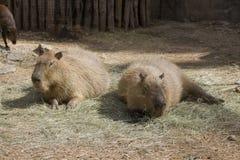 Capybaras - Hydrochoeuis hydrochaeris Stock Images