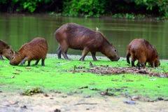 Capybaras Royalty Free Stock Images