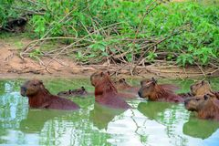 Capybaras Royalty Free Stock Images