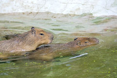 Capybaras and love Stock Image