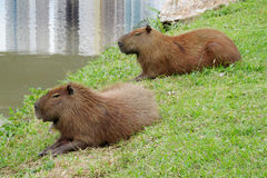 Capybaras lying on green grass Stock Photos