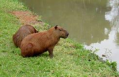 Capybaras near sjön Arkivbild