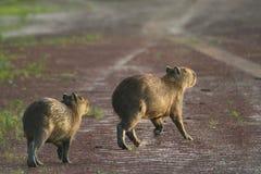 Capybaras op een weg Stock Afbeelding