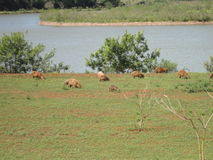 Capybaras outdoors Royalty Free Stock Photo