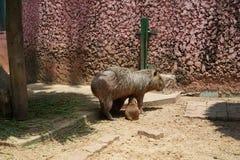 Capybaras på Safari World royaltyfri fotografi