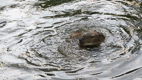 Capybaras playing in the water stock video