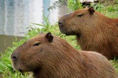 Capybaras portrait Royalty Free Stock Image