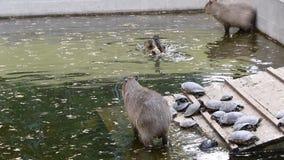 Capybaras que juegan en el agua almacen de video