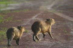 Capybaras on a road Stock Image