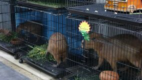 Capybaras in small cages on market. Adorable capybaras trapped in small cages in pet section of Chatuchak Market in