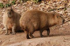 capybaras två Royaltyfria Bilder