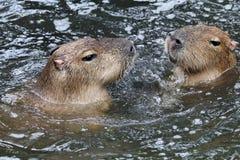 Capybaras Royalty Free Stock Image
