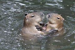 Capybaras Stock Images