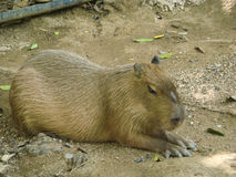 The Capybaras in zoo Royalty Free Stock Photography