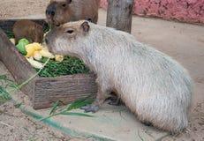 Capybaras in zoo Stock Image
