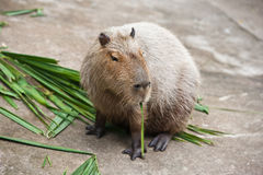 capybarastående Fotografering för Bildbyråer
