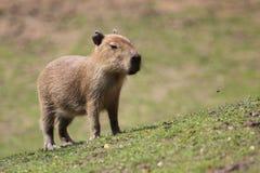 capybaratonåring Fotografering för Bildbyråer