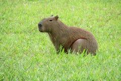 Capybarazitting op groen gras Stock Fotografie