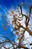 Caqui abundante da colheita do cumprimento natural Fotos de Stock Royalty Free