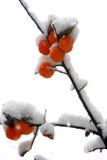 Caqui de las cubiertas de nieve Imagen de archivo libre de regalías