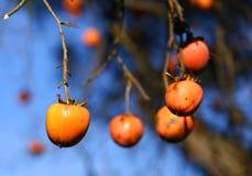 Caqui maduro do Diospyros que pendura no ramo da árvore Fotos de Stock Royalty Free