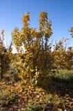 Caqui novo da árvore no inverno imagem de stock royalty free