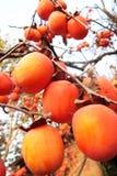 Caqui rojo en el árbol Fotos de archivo