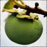 Caqui verde Fotografia de Stock
