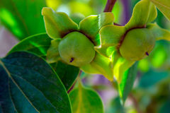 Caqui verde em uma árvore Fotos de Stock
