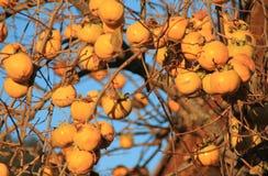 Caquis,柿属亚洲柿树 免版税库存图片
