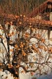 Caquis,柿属亚洲柿树 库存照片