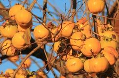Caquis,柿属亚洲柿树 图库摄影