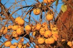 Caquis,柿属亚洲柿树 免版税库存照片