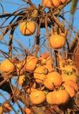 Caquis,柿属亚洲柿树 库存图片