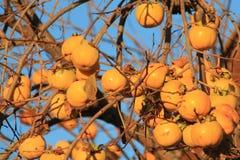 Caquis,柿属亚洲柿树 免版税图库摄影