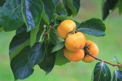 Caquis anaranjados brillantes Foto de archivo libre de regalías