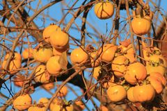 Caquis, Diospyros kaki. The persimmon is the edible fruit of a number of species of trees in the genus Diospyros. Diospyros is in the family Ebenaceae, and other Royalty Free Stock Photography