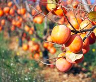 Caquis no jardim do fruto, Valência, fotos de stock