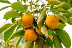 Caquis o fruta madura Imágenes de archivo libres de regalías