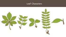 Carácter de la hoja Sistema de diverso tipo hojas Estilo de la biología Graphhics del vector Foto de archivo libre de regalías