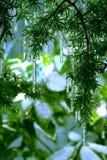 Carámbanos del árbol de abeto Imagen de archivo