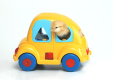 The car. Chicken in car on white background Stock Photo