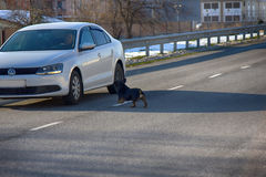 car attacking a mad dog on road Stock Photos