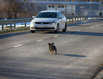 car attacking a mad dog on road Royalty Free Stock Image