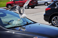 Car and the bird Stock Photography