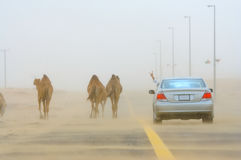 Car and camels. A car travelling through stormy desert, wild camels on the road. Photo taken in United Arab Emirates Stock Photo