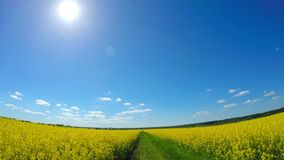 By car through the canola field. Pov stock video footage