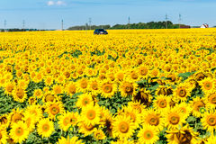 Car in field of a blossoming sunflower. A car in the field of a blossoming sunflower Stock Photography